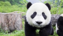 oso-panda-wallpaper-05_1024x768