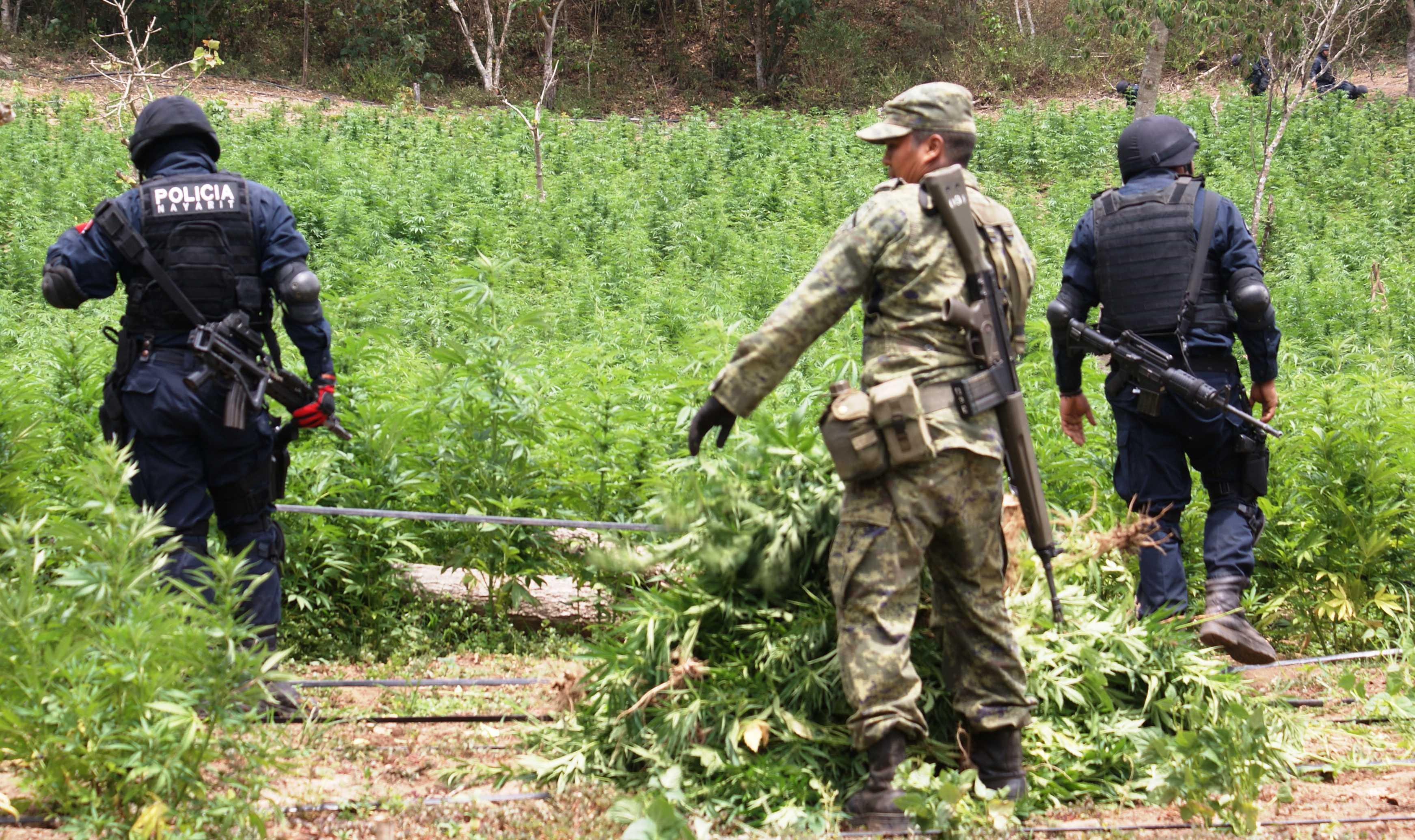 En septiembre ejército destruyó 7 mil kilos de mariguana