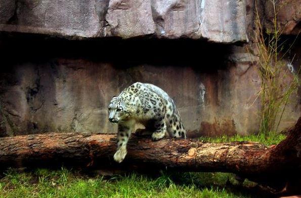Leopardo de las nieves, el nuevo morador de Chapultepec