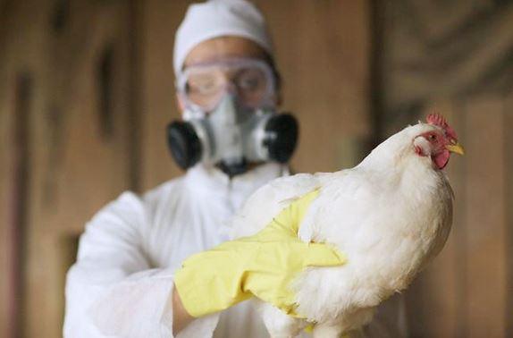 Alemania confirma segundo brote de gripe aviar