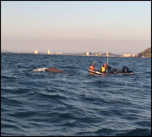 Rescatan a ballena atorada en cuerda en Mazatlán