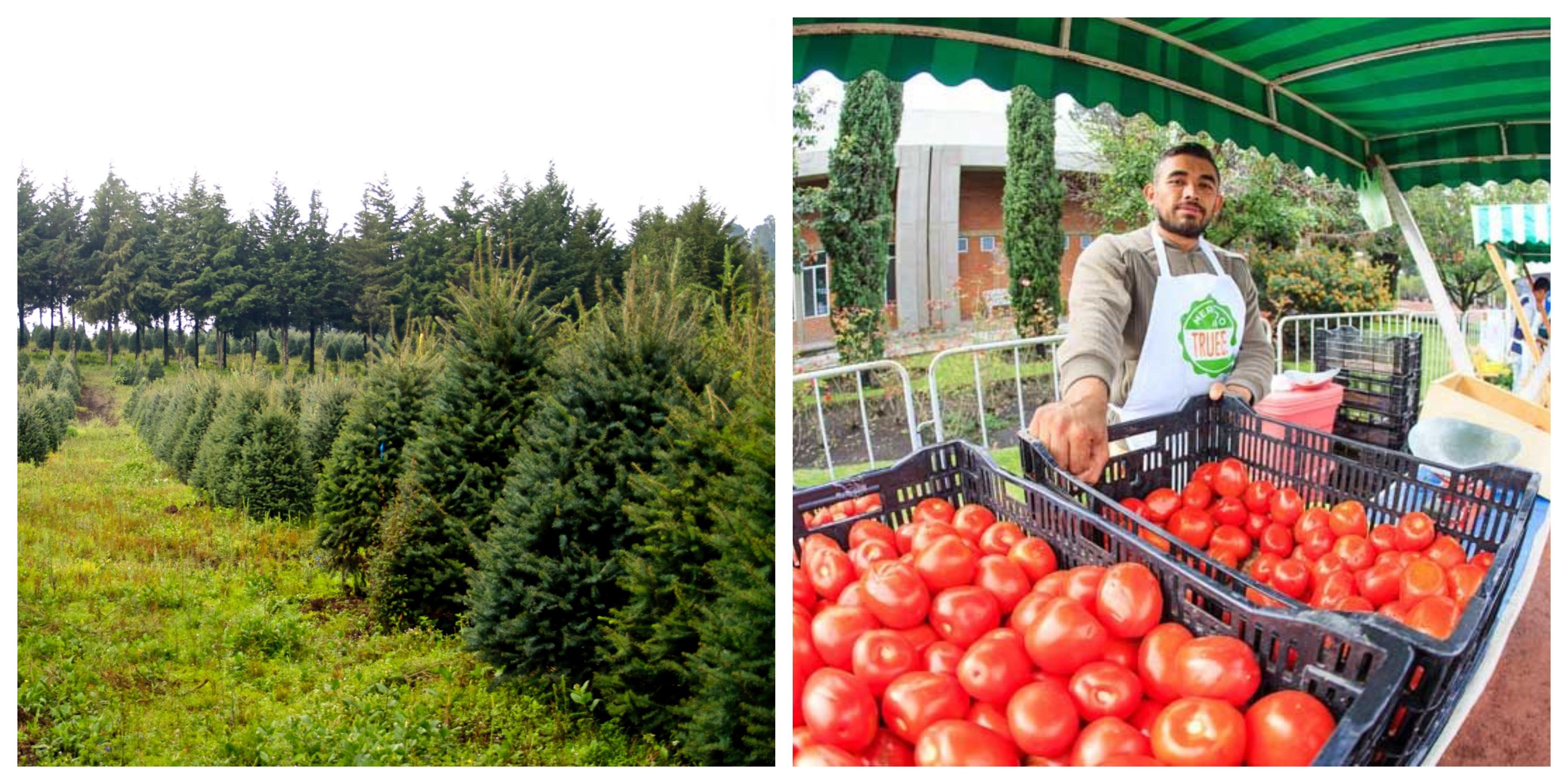 Lleva tu árbol de navidad  natural al Mercado del Trueque