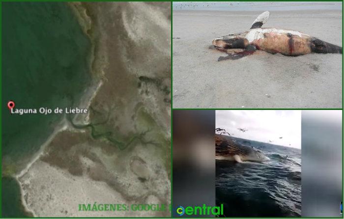 VIDEO| Ecocidio afecta a Guerrero Negro