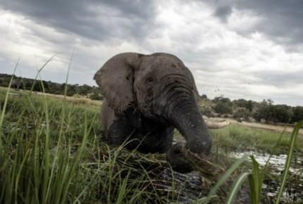 Elefantes en Birmania podrían desaparecer en un año