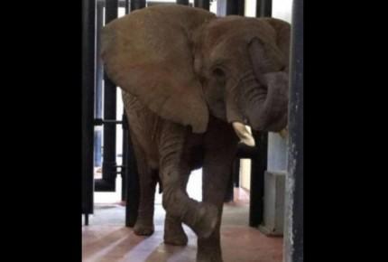 """Tras denuncias, Profepa reporta buen estado de elefanta """"Ely"""""""
