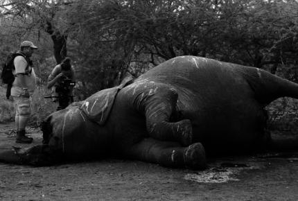 """EU autoriza que cazadores de elefantes regresen con sus """"trofeos"""""""