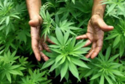 Tailandia hace historia en Asia, al aprobar el uso medicinal de la mariguana