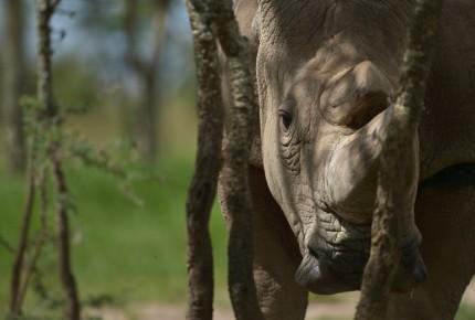 Muere el último macho rinoceronte blanco del norte