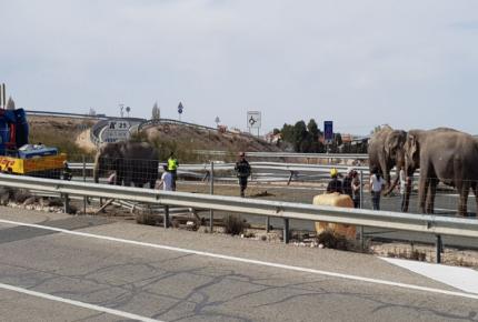 Vuelca camión con elefantes en España; uno murió