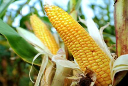 México alista aranceles a maíz y soya para contraatacar a EU