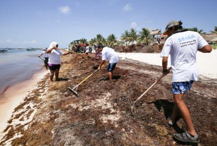 Acumulan playas de Quintana Roo 500 toneladas de sargazo