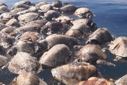 Hallan 300 tortugas muertas atrapadas en una red en Oaxaca