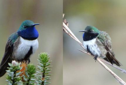 Hallan nueva especie de colibrí... y su hábitat ¡está en peligro!