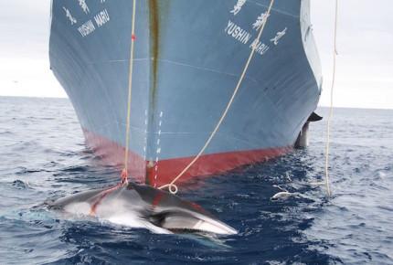 VIDEO   Bloquean propuesta de Japón para caza comercial de ballenas