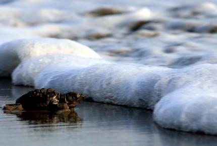 Profepa libera 87 crías de tortuga en peligro; rescata a tejón y zorra gris