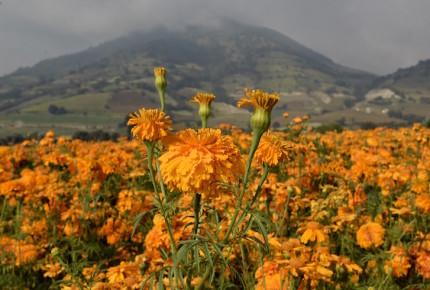#VIDEO | Flor de cempasúchil invade México para el Día de Muertos