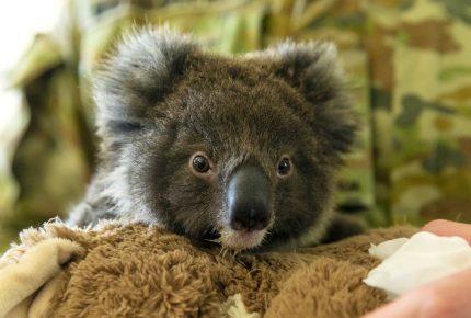 Piden introducir el koala en Nueva Zelanda para salvar especie