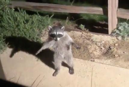 VIDEO   Reacción de mapaches conmueve las redes sociales