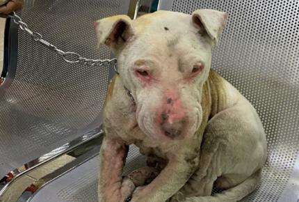 Quemó a pitbull 'Lala' y termina en libertad