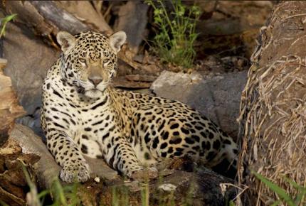 Descubren a felinos en peligro de extinción en Cancún