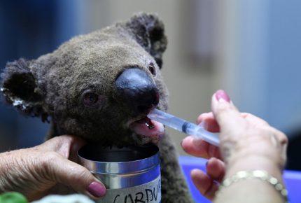 Muere la mitad de la población de Koalas por incendios