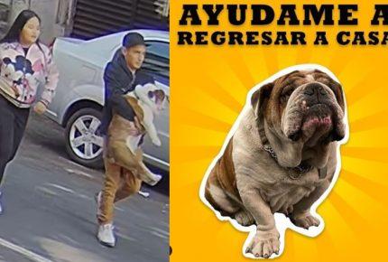 Denuncian en redes el robo de 'Emilio', un perrito bulldog