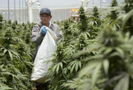 Illinois, EU, recibe el 2020 con la legalización del cannabis
