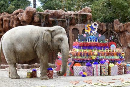 En zoo de Guatemala celebran los 59 años de la elefanta 'Trompita'