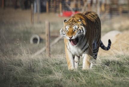 Tigresa del Zoológico de Nueva York da positivo a Covid-19