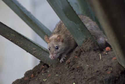Diputada del PAN advierte por plaga de ratas en CDMX