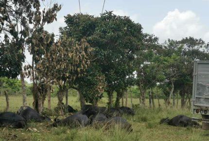 Falla en la línea eléctrica de Pemex mata a 20 búfalos