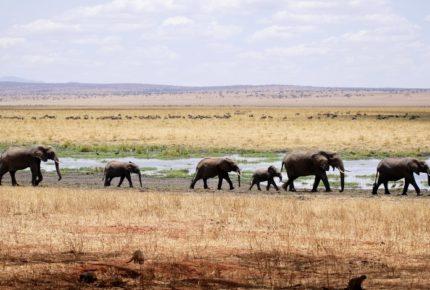 Elefantes en Kenia tienen 140 nuevas crías desde que llegó el covid-19