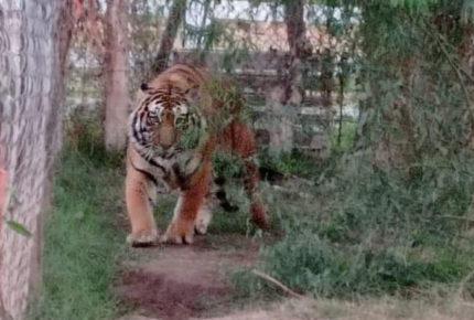 FGR asegura una leona y dos tigres de bengala en Sonora