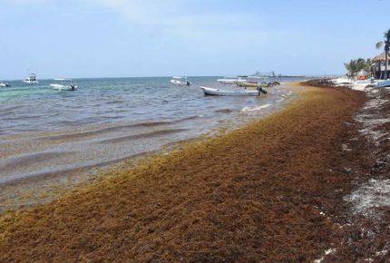 Lanzan alerta por llegada de sargazo en Quintana Roo