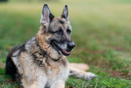 Murió 'Champ', el perro de la familia Biden