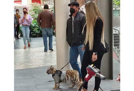 Profepa investiga paradero de tigre captado en Plaza Antara