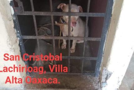 En Oaxaca, encarcelan a un perro pitbull