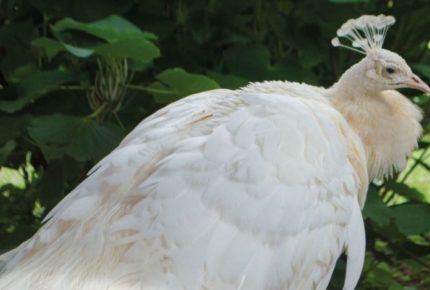 ¡Increíble! En zoológico de Tijuana, nace pavorreal albino